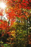 Fall forest landscape with sun light and maple foliage. Fall forest landscape with sun light through the maple foliage stock photos