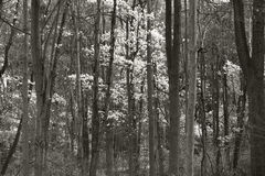 Fall forest. Maple forest during the fall in black and white, Pennsylvania royalty free stock photography