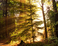 Fall Forest in the Morning Light Royalty Free Stock Images