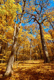 Fall forest, Morton Arboretum, Illinois Royalty Free Stock Photography