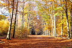 Fall in forest in the Netherlands Stock Image