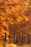 Fall forest in orange Stock Photos