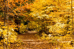 Fall forest path. Fall forest, path of yellow and brown leaves Stock Images