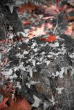 Fall forest scenery in red selective color with ivy and maple oak tree leaf. France Royalty Free Stock Image