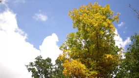 Fall Forest Series - Clouds rush by a tree turning yellow during fall stock video footage