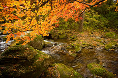 Fall forest stream Elomovsky with red maple trees in russian Pri Stock Photography