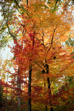 Fall forest trees Royalty Free Stock Photos