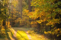 Fall forest. Warm autumn evening in forest. Trees with yellow leaves in forest illuminated by sunlight stock image
