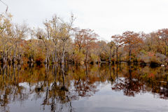 Fall Forest wetland Merchants Millpon NC SP USA. Fall colors of Water Tupelo, Nyssa aquatica, and Cypress tree, Taxodium distichum, in Merchants Millpond State Royalty Free Stock Images