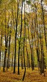 Fall forrest. Fall is ending Royalty Free Stock Image