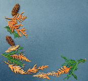 Fall frame, cones, cedar, arborvitae. Closeup still life of cedar, arborvitae leaf branch and pine cones. Autumn, Fall, Back to school concept. Grungy frame Royalty Free Stock Photo