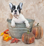 Fall French Bulldog Stock Images