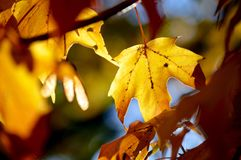 Fall frolic. Leaves turning for the fall season. Orange, yellow and red! Nature autumn tree Royalty Free Stock Image
