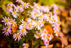 Fall garden flower Royalty Free Stock Photography