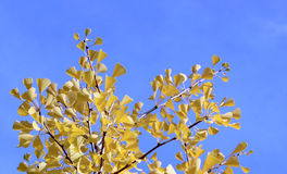 Fall ginkgo tree gentle yellow leaves on blue sky background. Autumn ginkgo tree, light blue sky royalty free stock photo