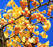 Fall ginkgo tree golden yellow leaves and berries on blue sky ba. Beautiful ripe ginkgo tree berries Stock Images