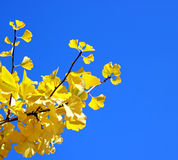 Fall ginkgo tree golden yellow leaves on blue sky background. Golden ginkgo tree and blue sky royalty free stock photography