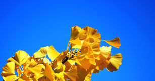Fall ginkgo tree golden yellow leaves on blue sky background. Beautiful golden ginkgo tree leaves in the wind stock photography