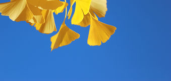 Fall ginkgo tree golden yellow leaves on blue sky background. Gorgeous golden yellow ginkgo tree leaves Royalty Free Stock Image