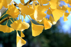 Fall ginkgo tree golden yellow leaves in sunlight. Golden yellow ginkgo tree leaves stock photos