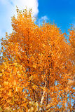 Fall - gold autumn leaves Royalty Free Stock Photo