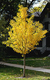 Fall golden yellow ginkgo tree on front yard Stock Image