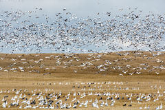 Fall Goose Migration. Fall migration of Greater and Lesser Snow Geese in Saskatchewan, Canada Royalty Free Stock Photos