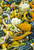 Fall gourds. Colorful Fall gourds for the Holidays stock image
