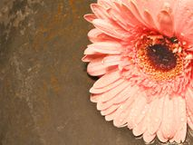 Fall from Grace. Flower lies on old rain soaked slate royalty free stock image