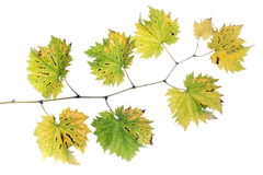Fall grape branch Stock Images