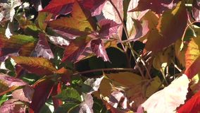Fall grape leafs stock footage
