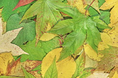 Fall green, yellow and red leaves for an autumn background Royalty Free Stock Images
