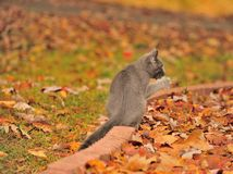 Fall Grey Cat Royalty Free Stock Image
