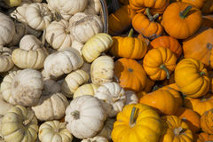 Fall harverst of white and orange specialty pumpkins Royalty Free Stock Image