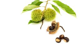 Fall harvest of chestnuts and husks isolated on white. A twig from  chestnut tree with two green husks containing chestnuts and a brown opened husk and three Royalty Free Stock Images