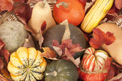 Fall harvest of different squashes in wicker basket Royalty Free Stock Photos