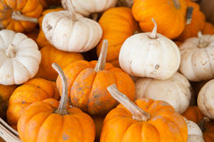 Fall Harvest: Mini White and Orange Pumpkins Royalty Free Stock Image