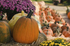The Fall Harvest of Pumpkins. This is the fall harvest of pumpkins accented by colorful mums Stock Photos