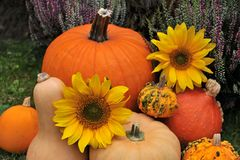 Fall harvest of pumpkins. Stock Photo