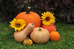 Fall harvest of pumpkins. royalty free stock images