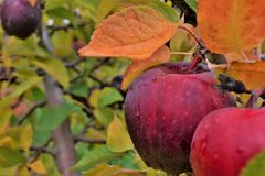 Fall Harvest. Ripe Apples on the tree after a good fall rain royalty free stock image