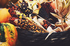 Fall harvest - ripe colorful corn ears and pumpkins Stock Image