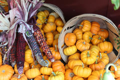 Fall harvest scene. Fall harvest of dried native corn and baskets of mini pumpkins Royalty Free Stock Photo