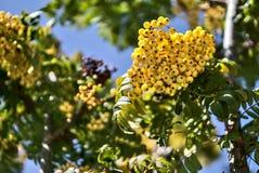 Fall harvesting background in unusual colors with copy space. Beautiful autumnal yellow berries of Sorbus vilmorinii Rowan tree