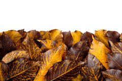 Fall hawthorn leaves Stock Image