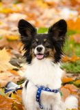 Fall head shot of a papillon. Surrounded by fallen maple leaves Stock Photos