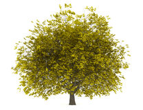 Fall hornbeam tree isolated on white Stock Photos