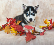 Fall Husky Puppy Royalty Free Stock Photography
