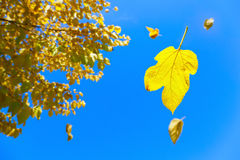Fall. Image of yellow leaves falling off the tree with blue skies in the background Stock Photo