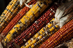 Fall indian corn Stock Photos